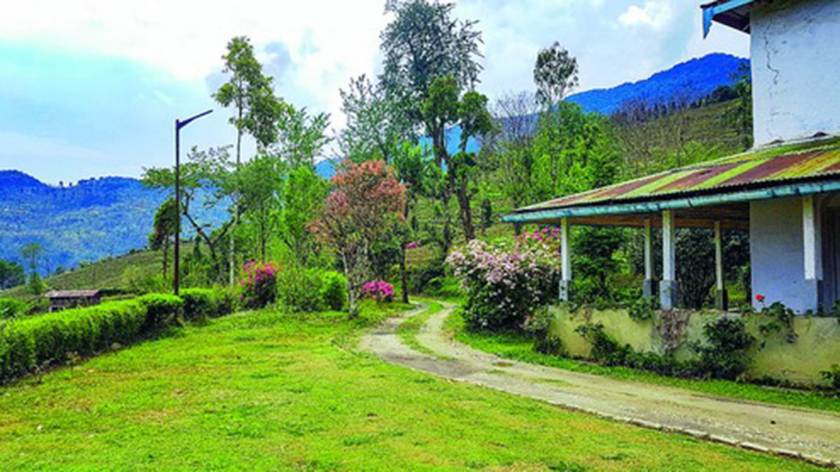 Sikkim tea garden beckons tourists